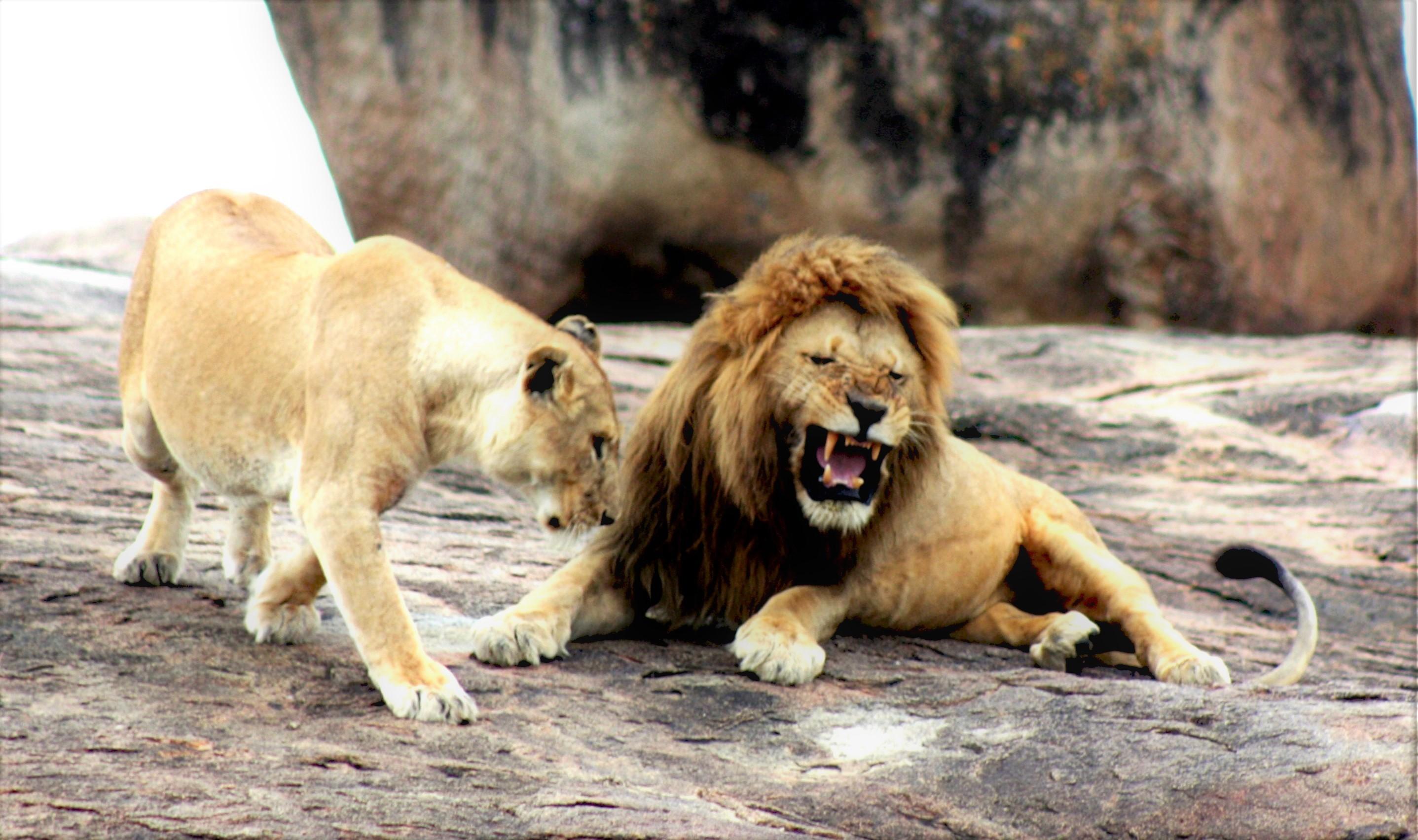 lion-lioness