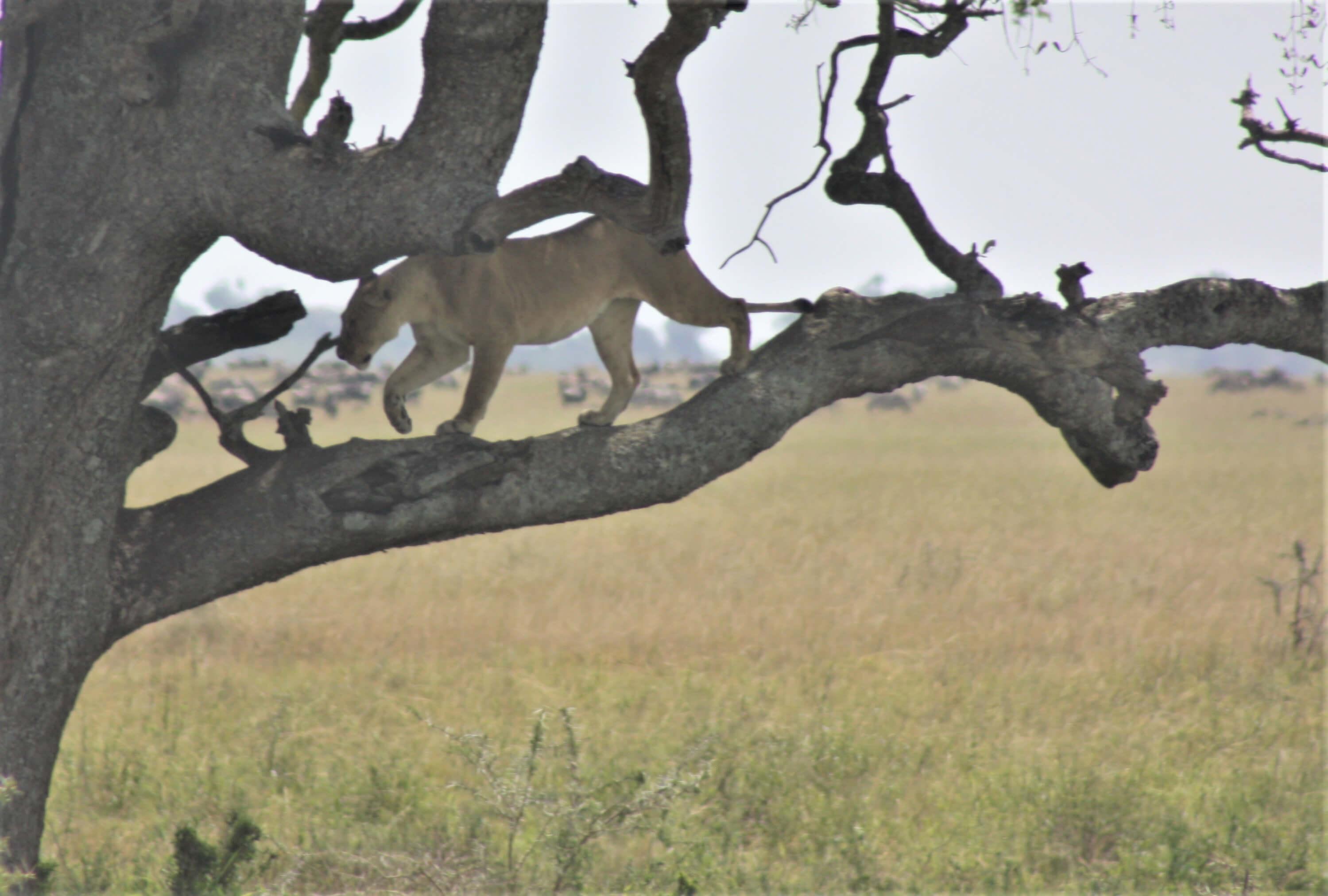 lion-on-tree