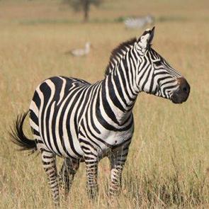 7 Day Serengeti Safari