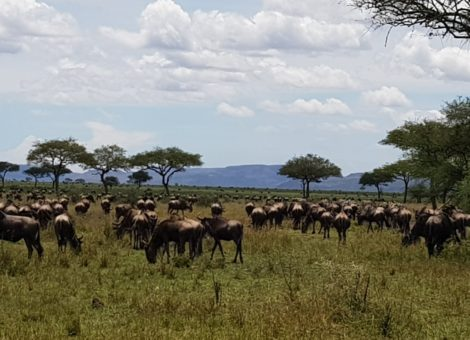 wildebeest migration safaris Tanzania