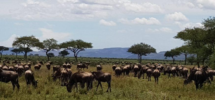 wildebeest migration safaris Tanzania